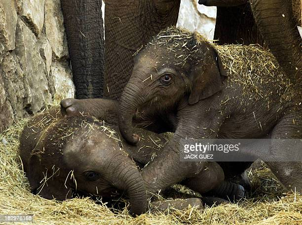 A fewhourold baby Asian elephant plays with another baby elepant at the Ramat Gan Safari aka the Zoological Center of Tel AvivRamat Gan on October 03...