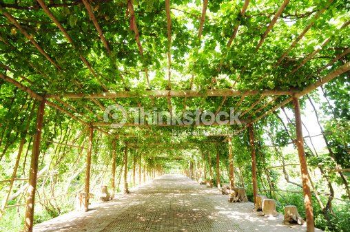 ffootpath raisin vigne verte sous la pergola photo thinkstock. Black Bedroom Furniture Sets. Home Design Ideas