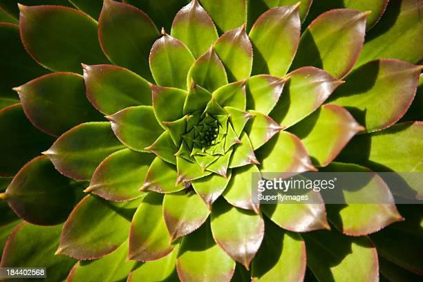 フィボナッチ植物
