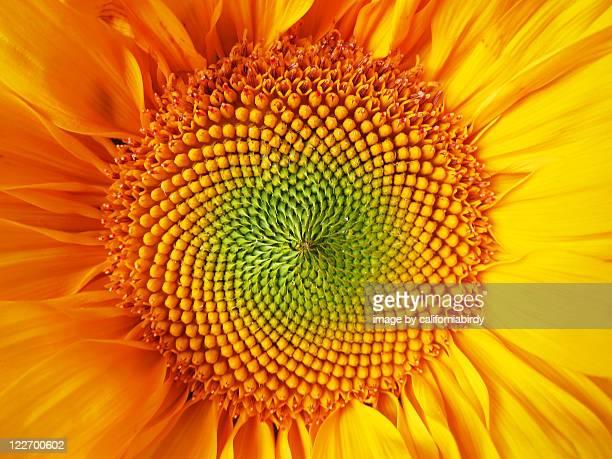 Fibonacci sunflower