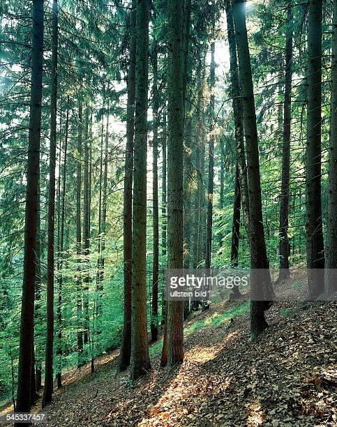 Fichten und Kiefern im Bayerischen Wald