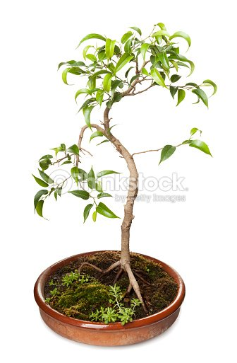 ficus benjamina bonsai stock photo thinkstock. Black Bedroom Furniture Sets. Home Design Ideas