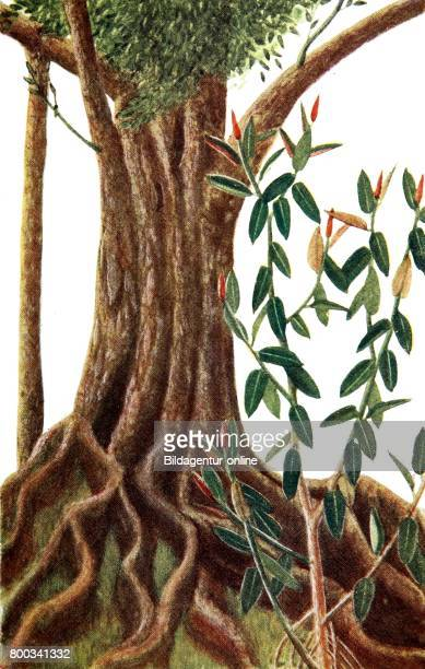 Ficus elastica the rubber fig rubber bush rubber tree rubber plant or Indian rubber bush