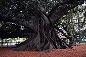 Ficus in the Plaza San Martín