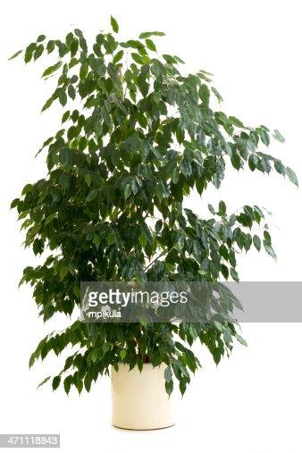 Ficus tree in tan flowerpot on white background