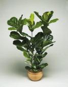 Fiddle leaf fig Moraceae