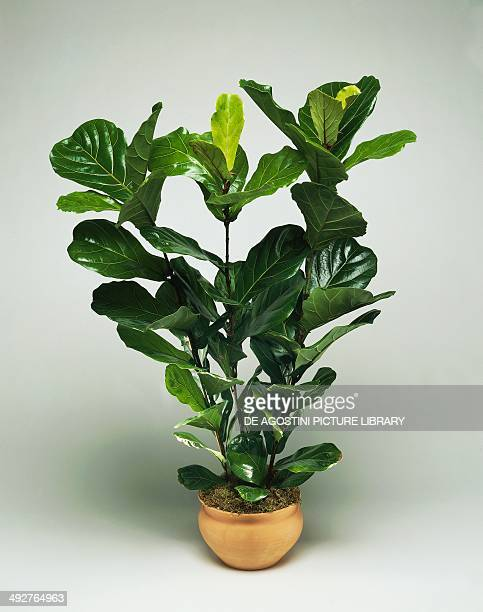 Fiddle leaf fig Moraceae