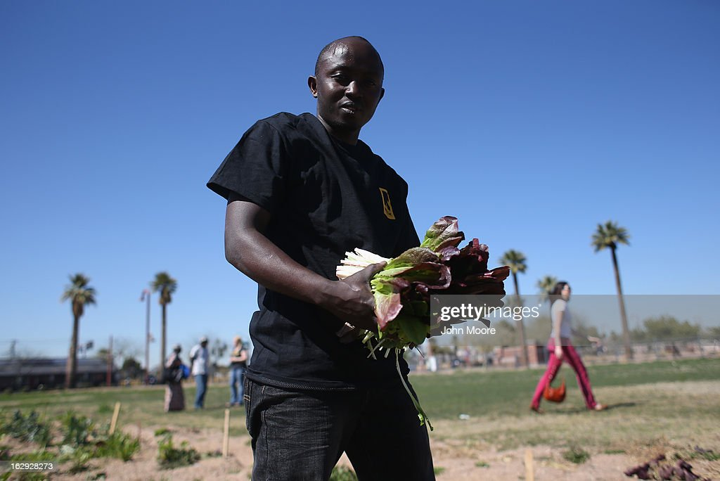 Fidel Konezuseuge, a refugee from the Democratic Republic of Congo, harvests lettuce as part of the New Roots urban farm program held by the International Rescue Committee (IRC), on March 1, 2013 in Phoenix, Arizona. The program is designed to help refugees, many of whom were farmers in their homeland, integrate into their new lives in America. New Roots, like many federally-funded programs, may be greatly cut back due to federal sequestration cuts. The IRC is a non-profit humanitarian aid organization that aids refugees and survivors of international conflict. They assist new arrivals, many of whom come from refugee camps and war zones, to adjust to American society after being granted refugee status and invited by the U.S. government to live in the United States. The IRC also assists refugees through the immigration and naturalization process to become U.S. citizens.