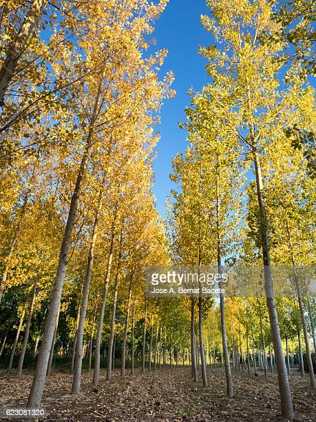 Field cultivated with trees of black poplar with the yellow leaves in autumn
