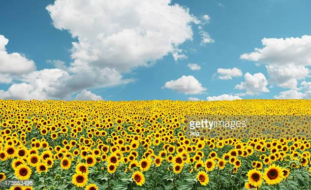 A field full of tons of sunflowers