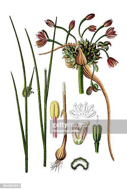 Field garlic Allium oleraceum