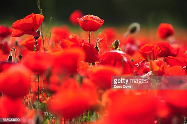 A field in fallow is covered in wild poppies in the Castilla La Mancha landscape after a wet spell of rainfall on May 19 2016 near Alcazar de San...
