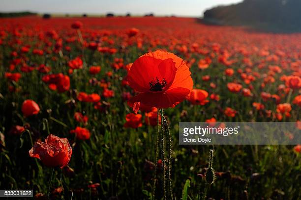 A field left to fallow covered in wild poppies in the Castilla La Mancha landscape after a wet spell of rainfall on May 19 2016 near Daimiel Spain...