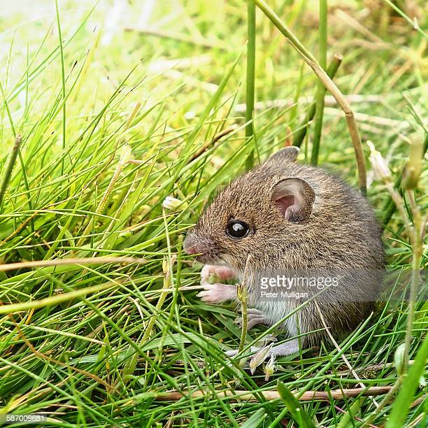 Field mouse feeding in grass