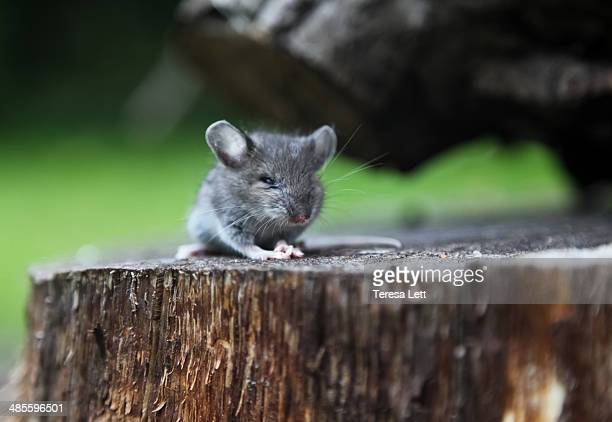 Field mouse sitting on stump