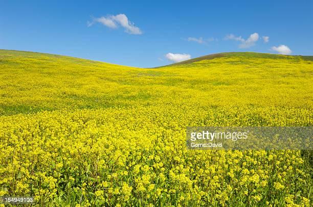Campo de mostarda ao longo da costa da Califórnia