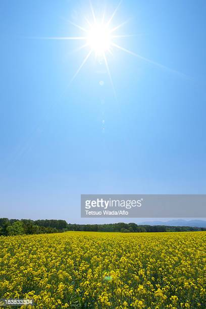Field mustard and sky, Hokkaido