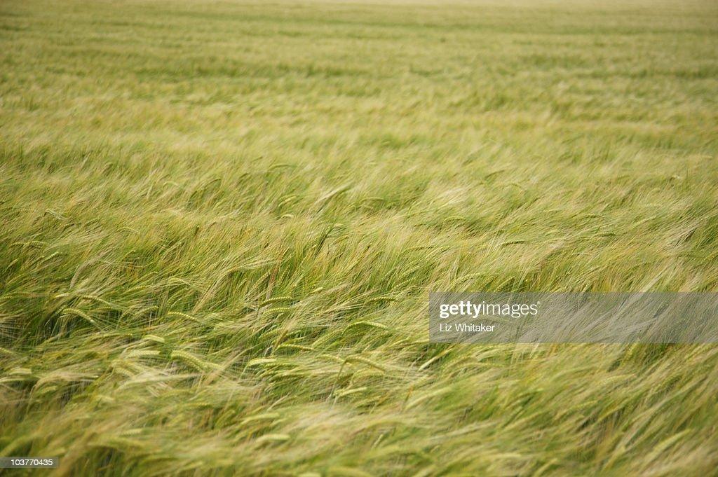 Field of barley (Hordeum vulgare), full frame : Stock Photo