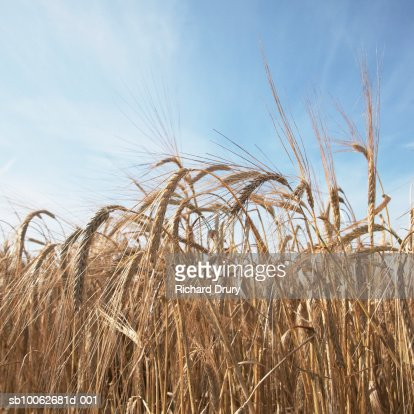 Field of barley (Hordeum Vulgare), low angle view