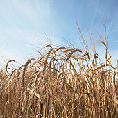 Field of barley (Hordeum Vulgare), low angle view