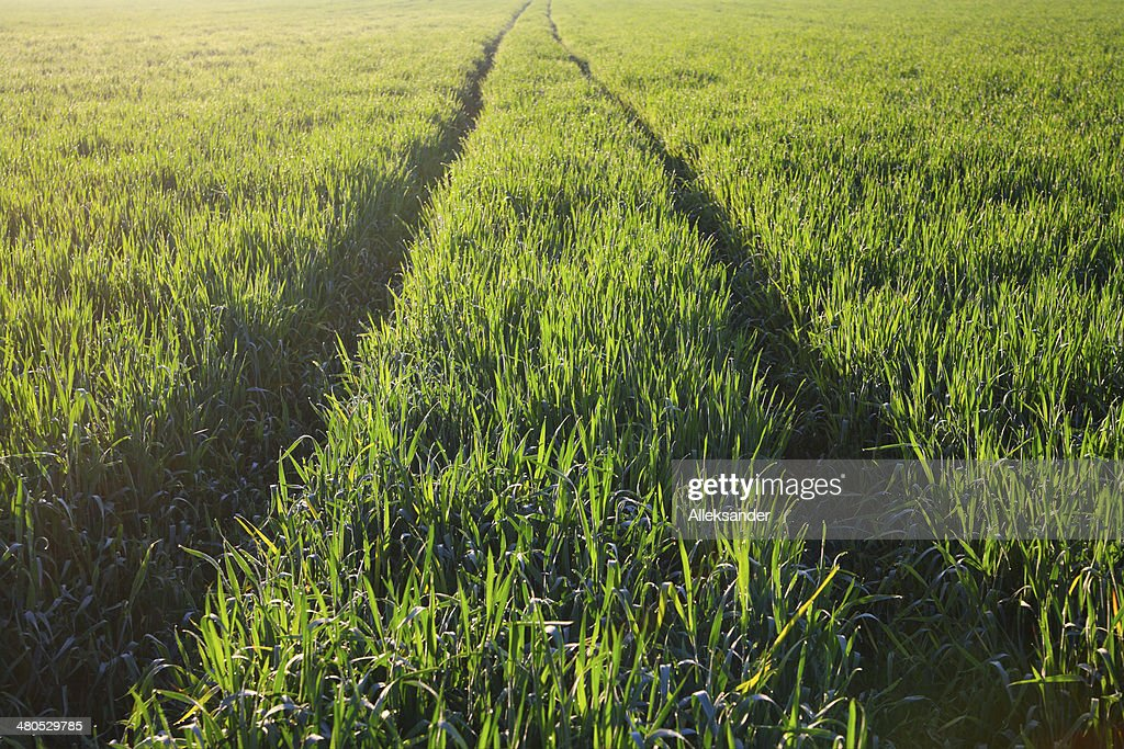 Field of barley : Stock Photo