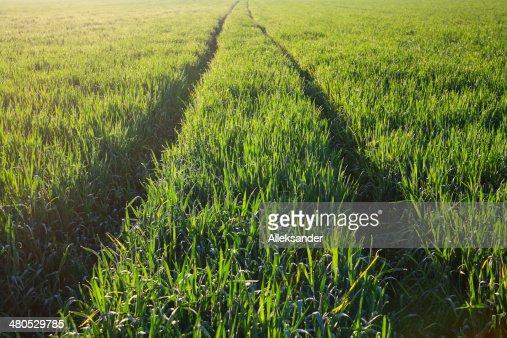 Field of barley : Bildbanksbilder