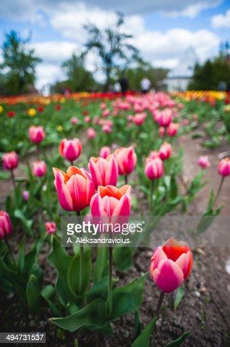 Field of beautiful tulip flowers.