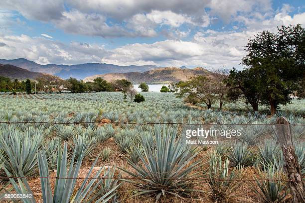 Field of blue agave in Nayarit Mexico