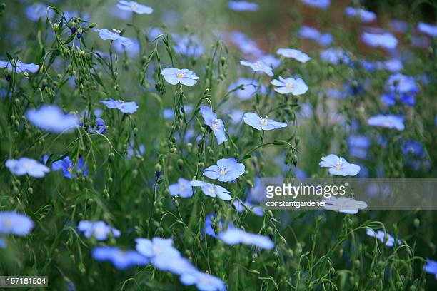 Field Of Blue Flax In The Country