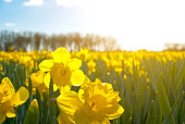 field of bright yellow daffodils in Holland