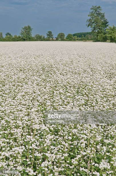 A field of buckwheat in bloom