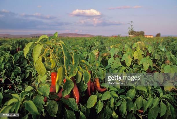 Field of Chili Pepper Plants