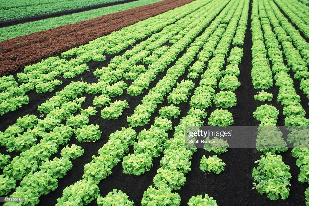 Field of coral lettuce : Foto stock