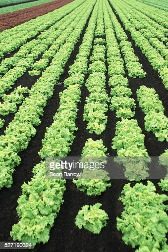 Field of coral lettuce : Stock-Foto