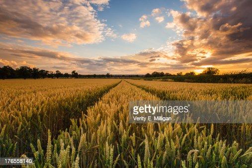 Field of Corn at Sunset