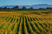 A field of corn grows adjacent to a vineyard in the Russian River Valley as viewed at sunrise on September 4 near Santa Rosa California Following a...