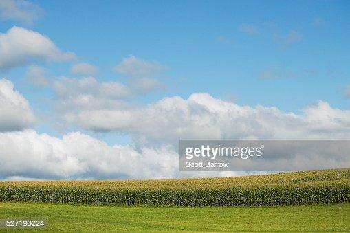 Field of corn : Stock Photo
