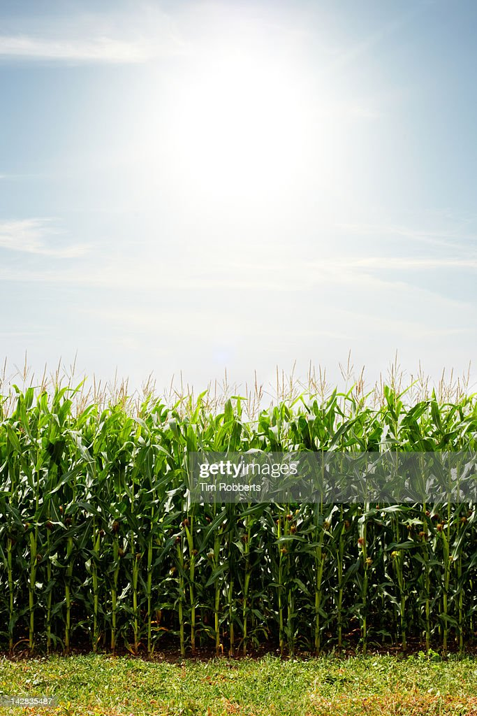 Field of corn with the sun.