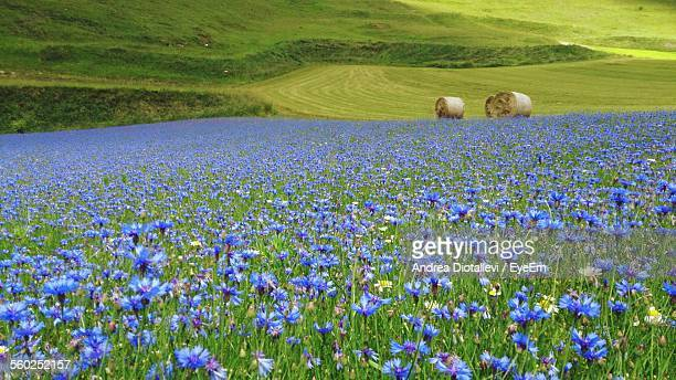 Field Of Cornflowers And Bales Of Hay