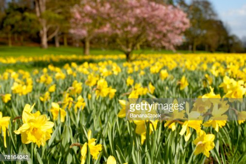 Field of daffodils : Stock Photo