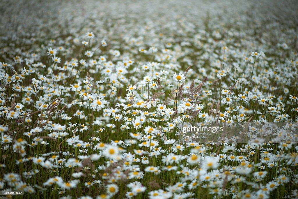 Field Of Daisies : Stock Photo