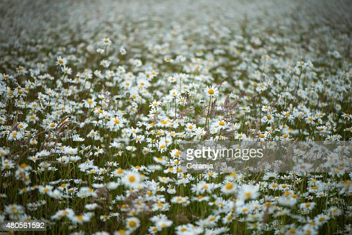 Field Of Daisies : Stock Photo