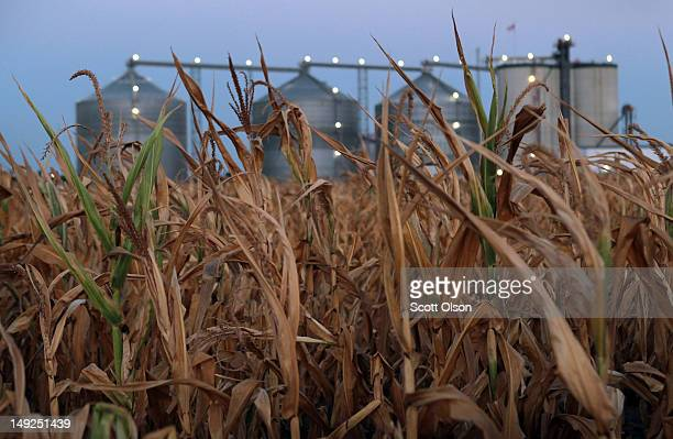 A field of dead corn sits next to the Lincolnland AgriEnergy ethanol plant July 25 2012 in Palestine Illinois This summer's extended drought which...