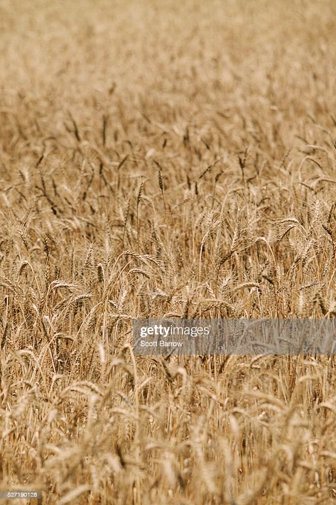 Field of dry wheat : Foto de stock