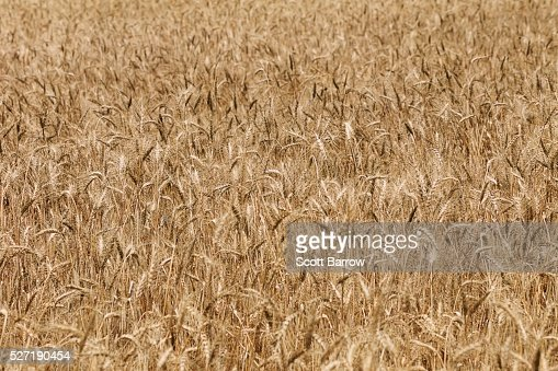 Field of dry wheat : Stock-Foto