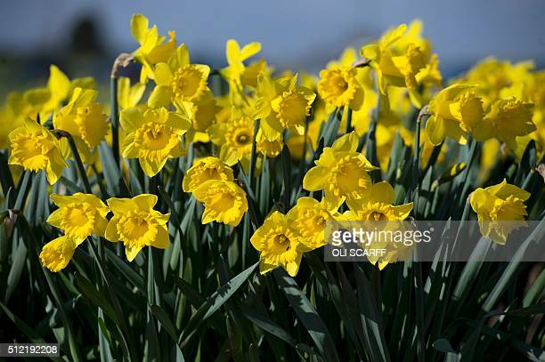 A field of Dutch Master daffodils is pictured on Taylors Bulbs farm near Holbeach eastern England on February 24 ahead of Mother's Day which will be...