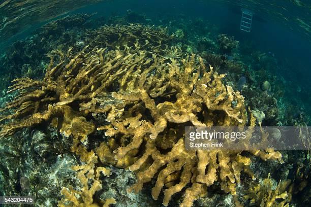 Field of Elkhorn coral.