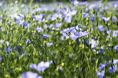 Field of flowering blue and green flax flowers, nature background