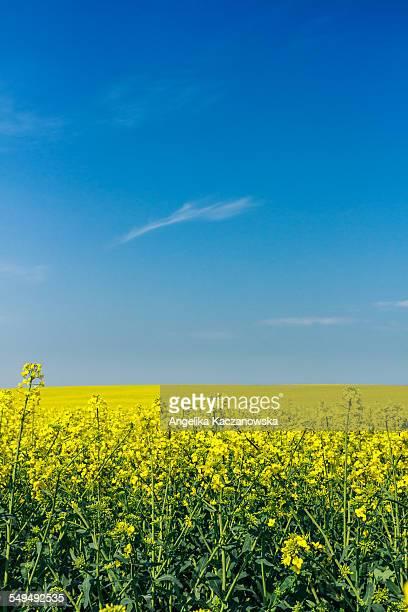 A field of flowering rapeseed