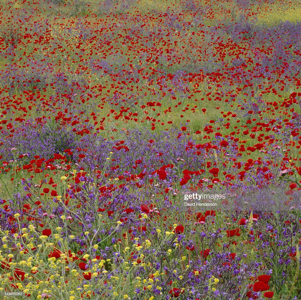 Field of flowers in rural landscape : Stock Photo